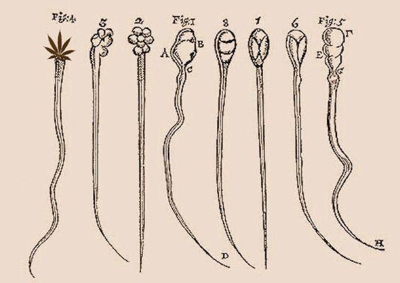 Marijuana and sperm production